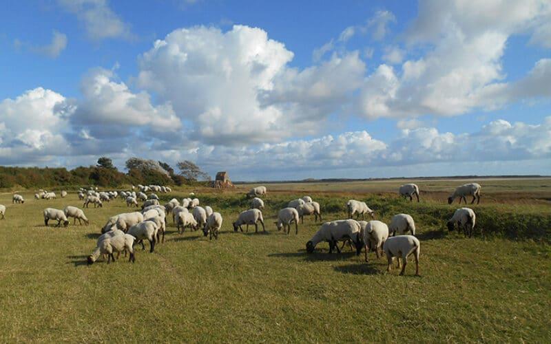 Moutons de pré-salés - S. Tirel
