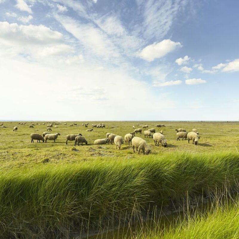 Moutons de pré-salés - A.Lamoureux